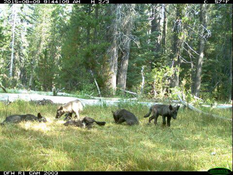 graywolvespupscalifornia