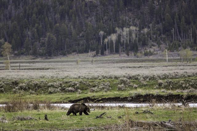 grizzlybearyellowstone