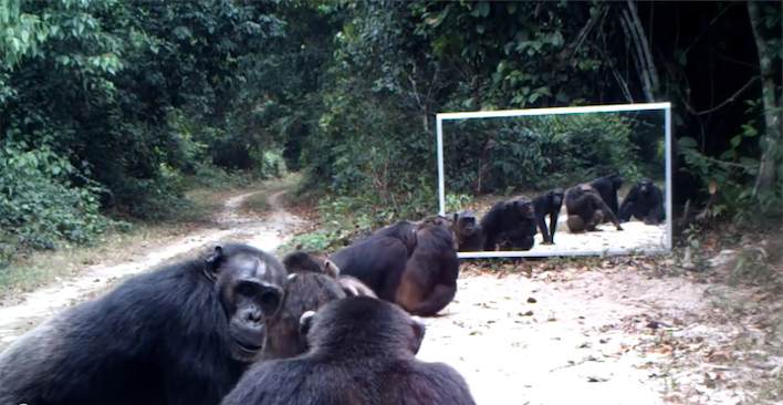 mirrorchimpanze