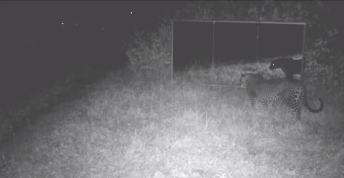 mirrorleopard