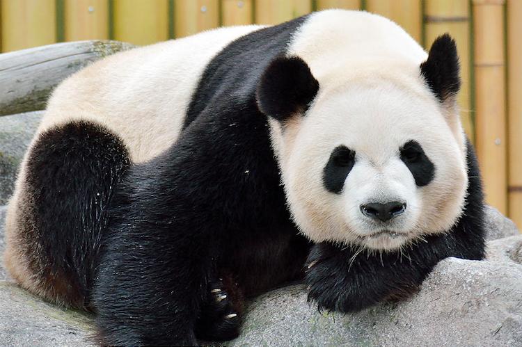 Da Mao/Toronto Zoo
