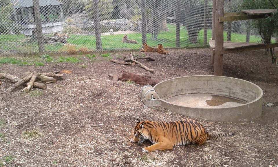 All five Sumatran Tigers at the Hamilton Zoo. Oz is far left./Hamilton Zoo/Facebook