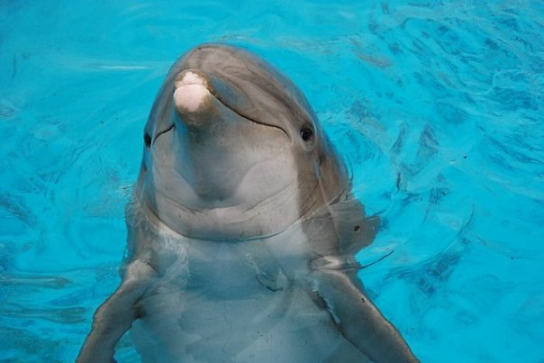 dolphinChubby