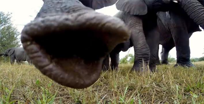 elephantgoprotrunk