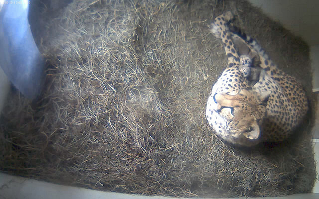cheetahcubsleeping