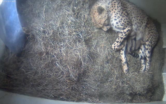 cheetahcubsnursing