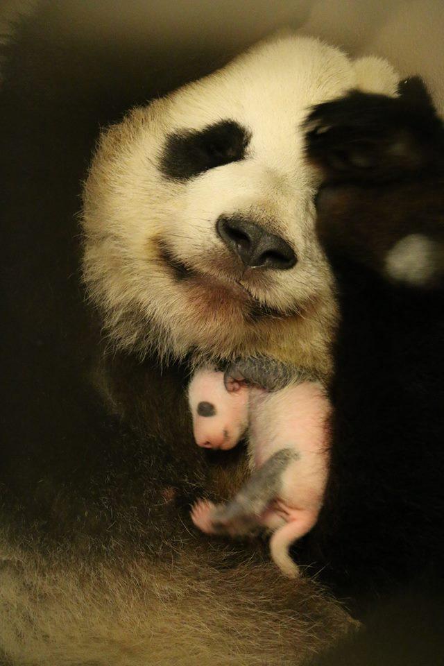 pandacubs3wks