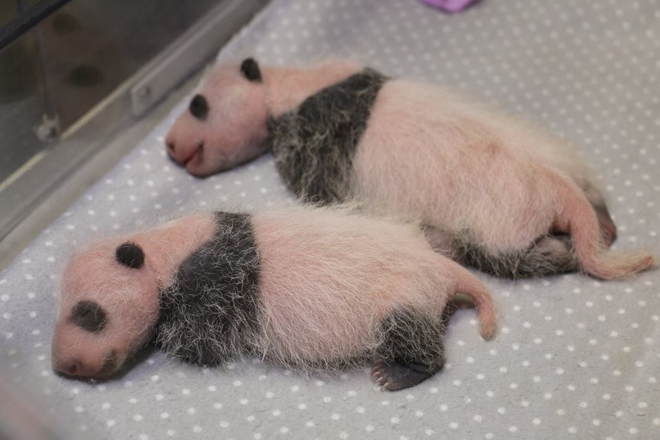 pandacubs3wksold