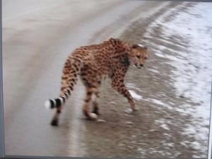 49816_cheetah2