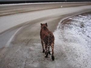49817_cheetah3