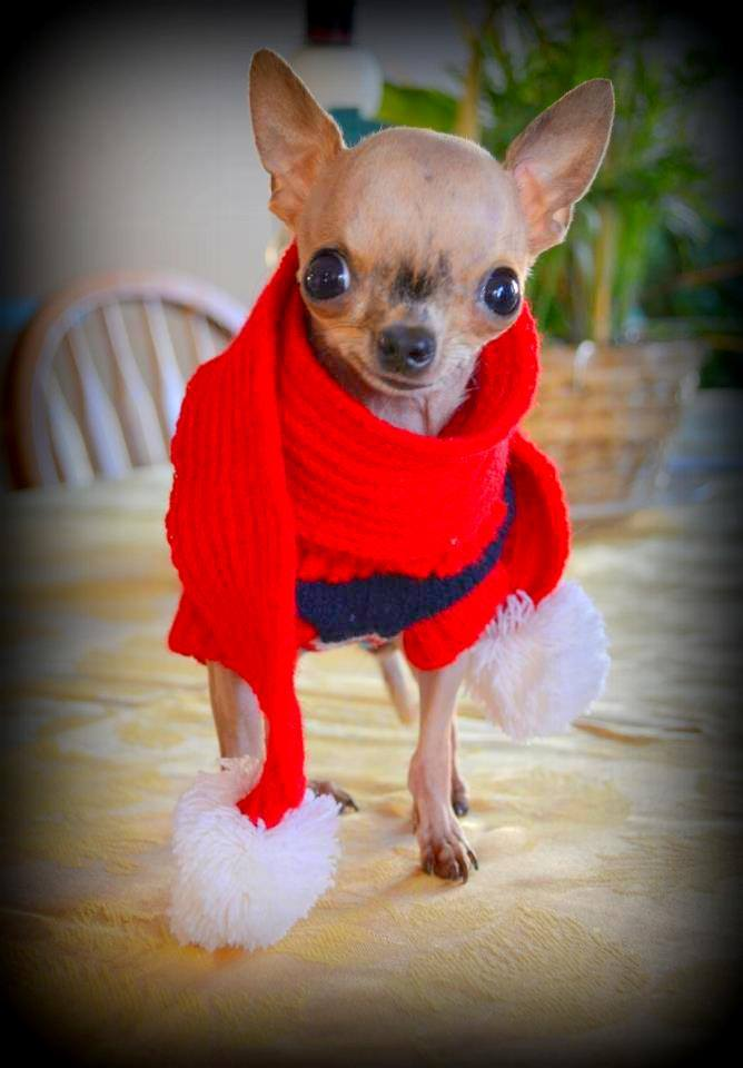 Love For Mia Cleft Palate Chihuahua/Facebook