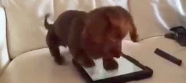 Little Puppy Tries To Crush Ipad But Fails Critter Filescritter Files