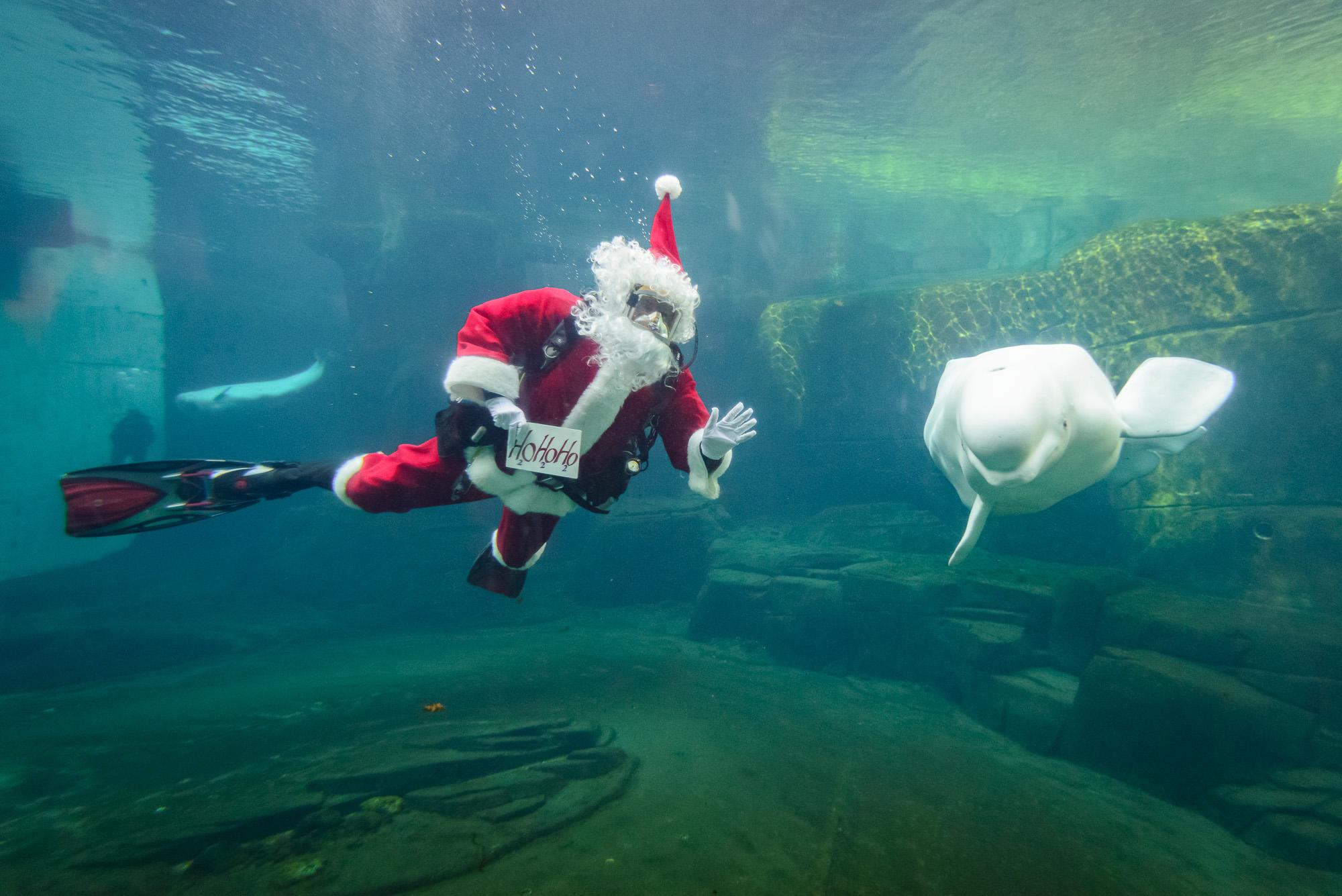 Scuba Claus dives with beluga whales Aurora and Qila/Vancouver Aquarium