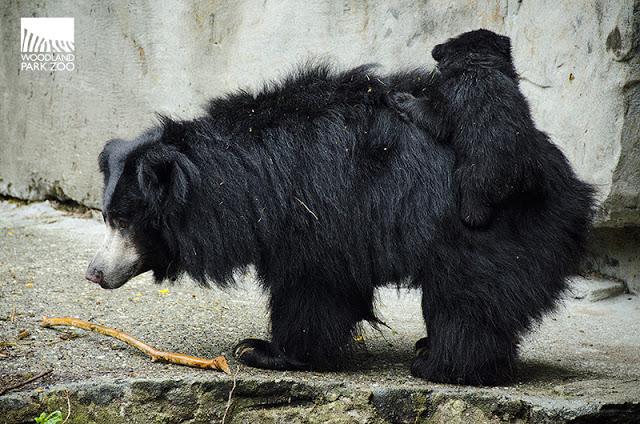 Tasha, cub, riding on back