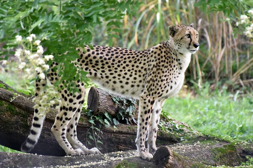 CheetahMarylandZoo