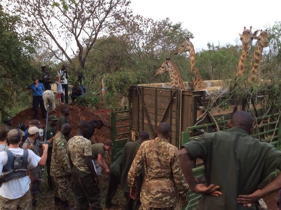 GiraffetransferUganda