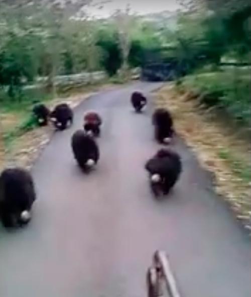 bearschasingtruck