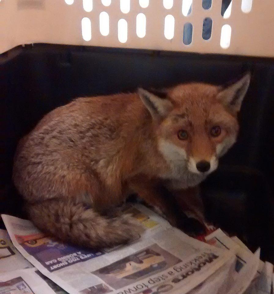 foxWales