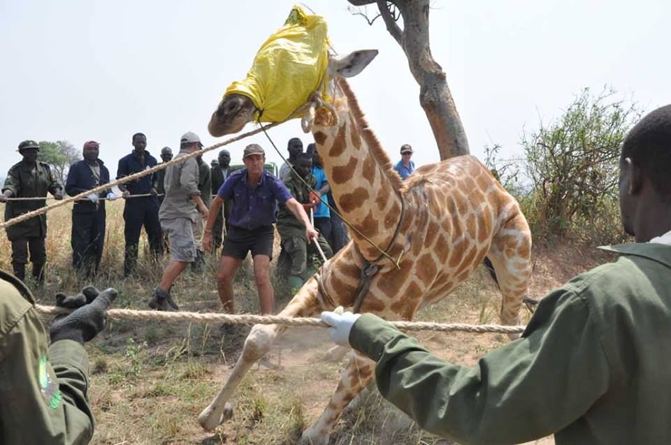 Giraffe Conservation Foundation/Facebook