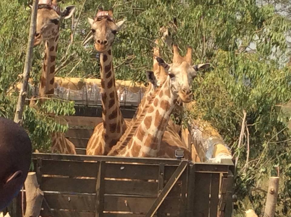 giraffesintransitUganda