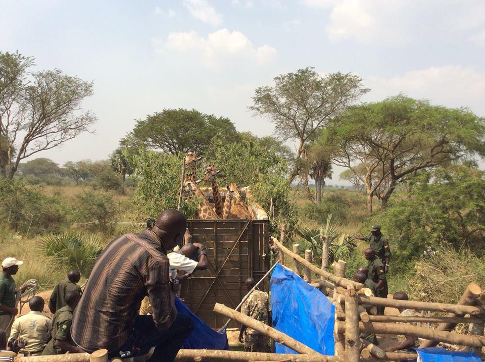 giraffesintruckUganda
