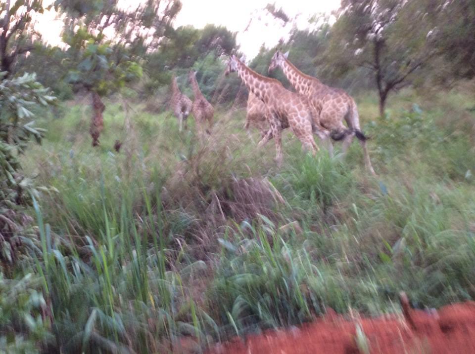 giraffesrunUganda