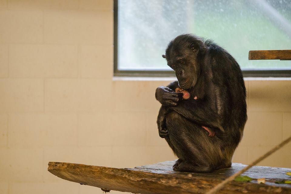 ChimpanzeemotherbabyHamiltonZoo