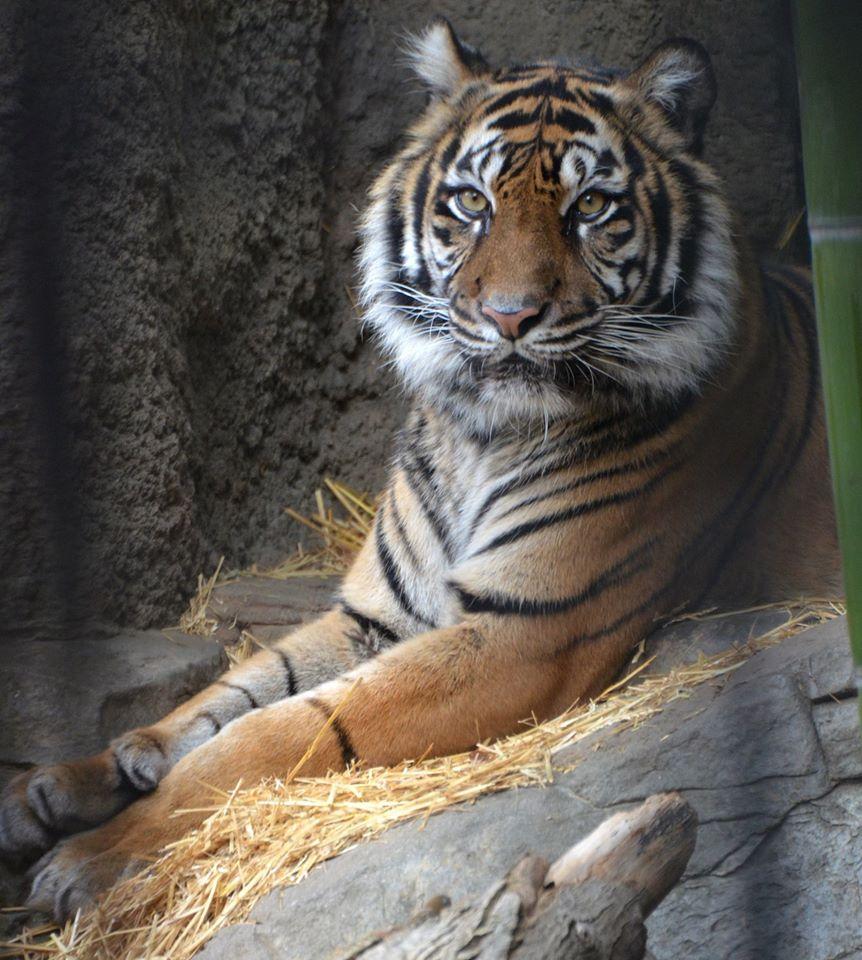 TigerBahaSacramento