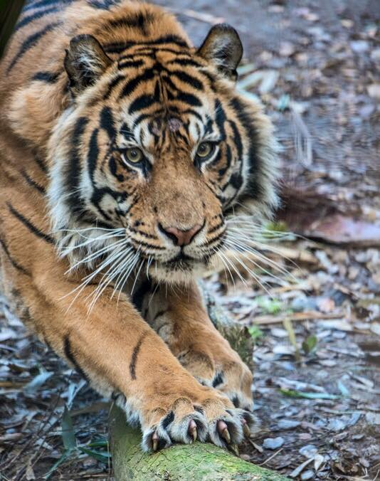 TigerMohanSacramentoZoo