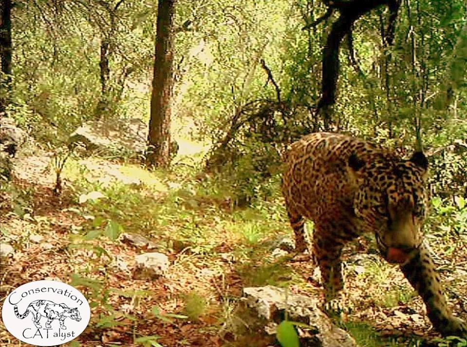 jaguarwildConservationCatalyst