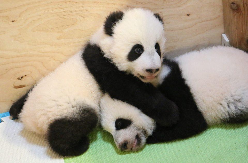 pandacubstorontozoo