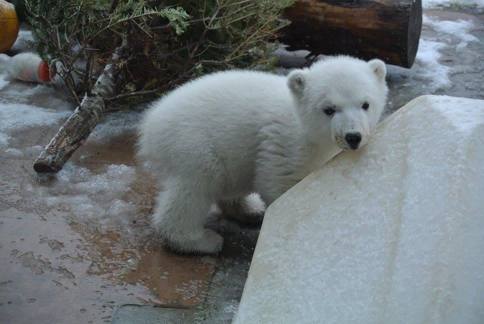 polarbearjuno