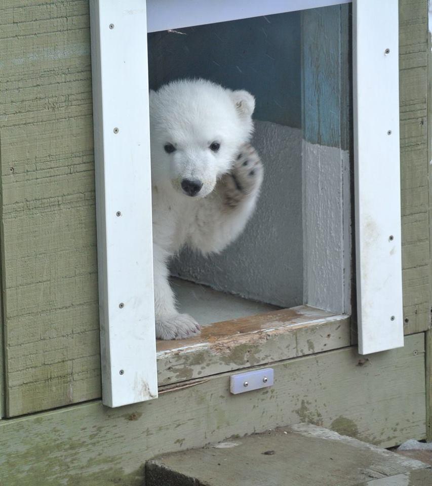 polarbearjunotoronto