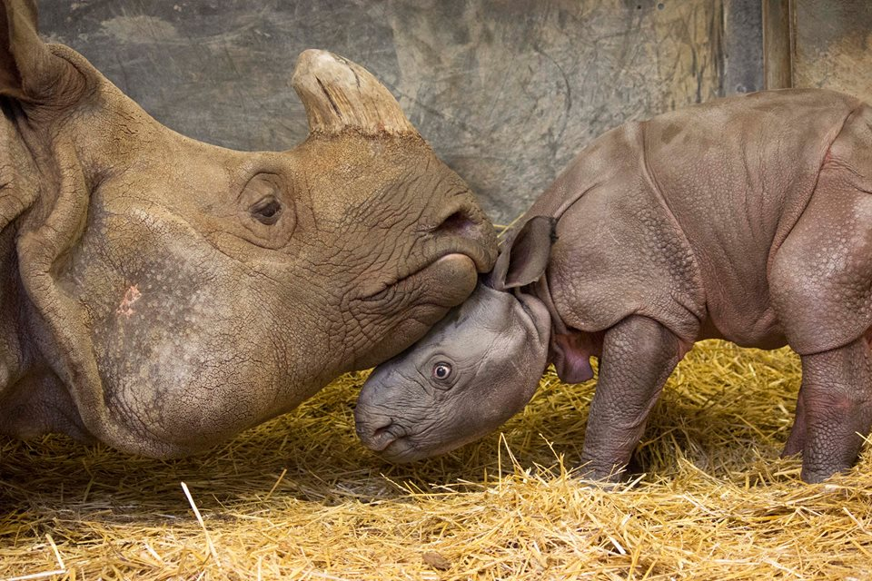 Male Indian rhino calf and mother at Toronto Zoo/Facebook