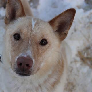 Aliy Zirkle's sled dog Clyde suffered minor injuries/Aliy Zirkle/Facebook