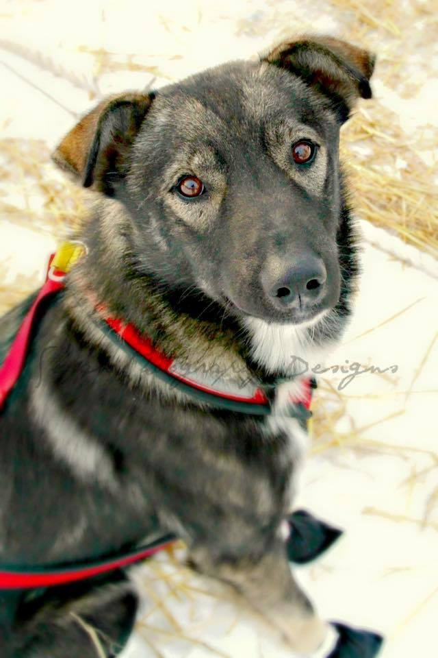 Nash, sled dog, was killed at the /Husky Homestead Tours/Facebook