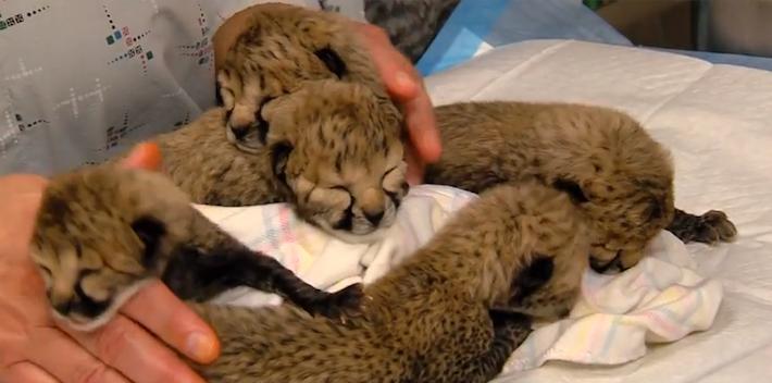 cheetahcubsCincinnati