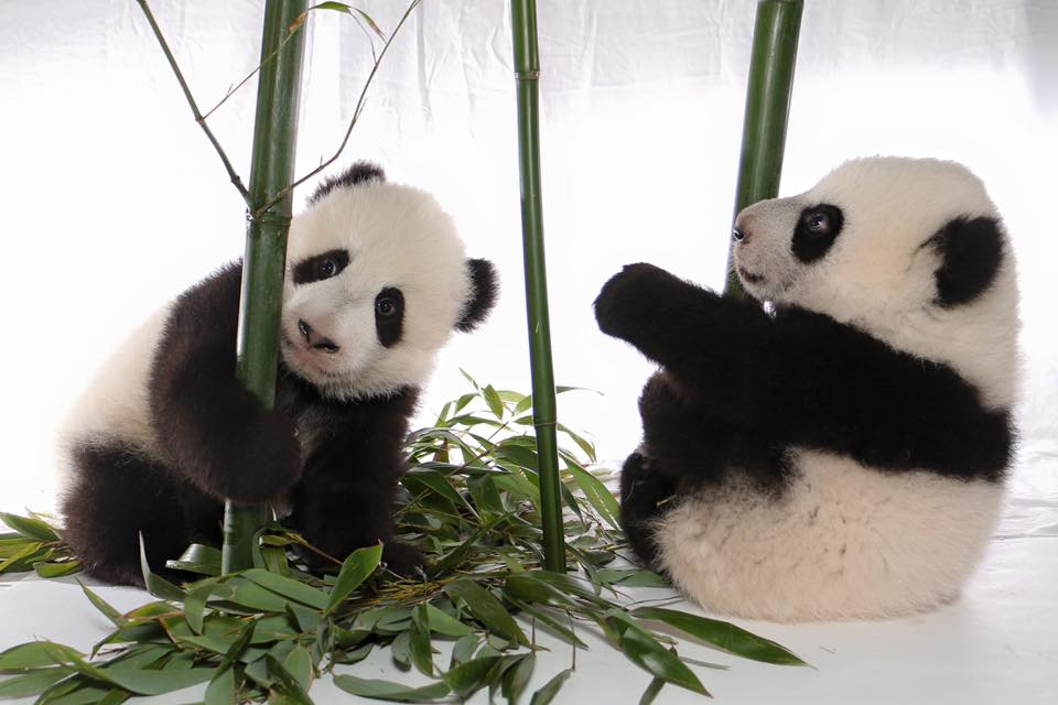 Male cub Jia Panpan (left) and female Jia Yueyue (right)/Toronto Zoo Facebook