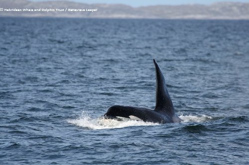 Dopey Dick, aka Comet off coast of Scotland in 2014/ Genevieve Leaper/Hebridean Whale and Dolphin Trust