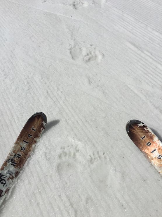 Bear tracks on the corduroy /Lake Louise Ski Resort