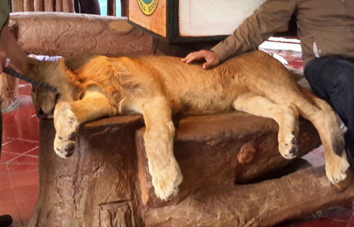 LionTamanSafari