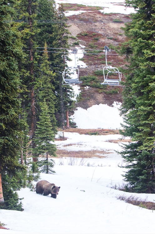 Empty ski lifts and one grizzly bear at Marmot Basin/Mike Gere