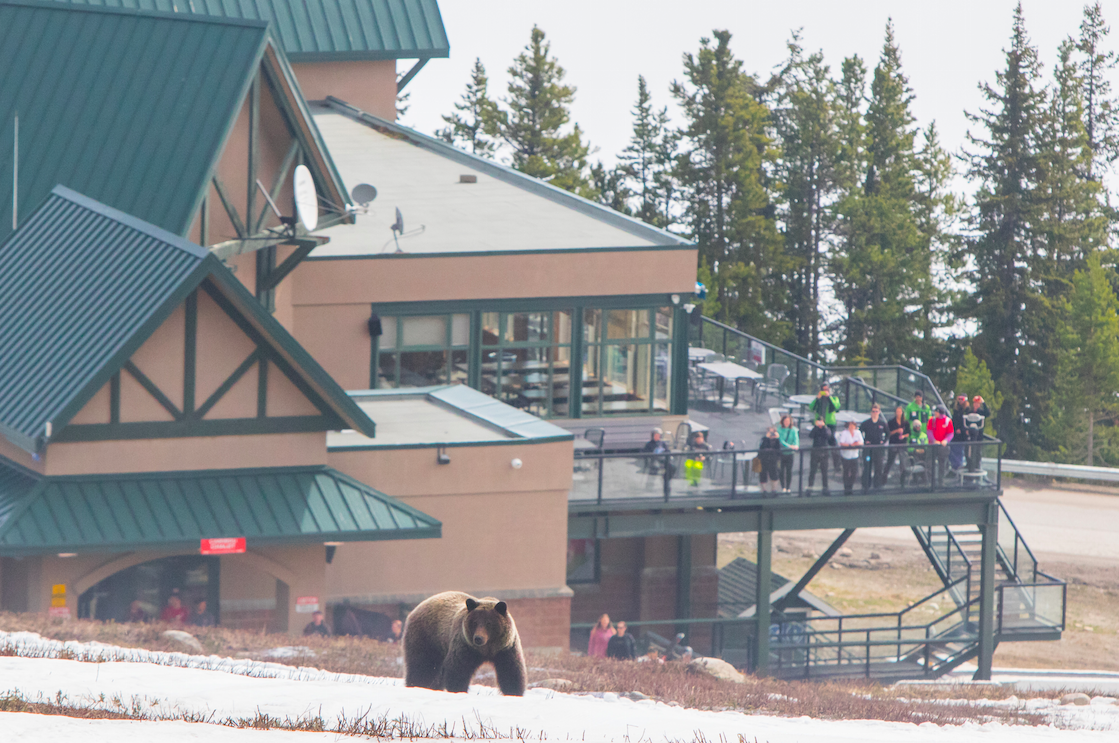 Visitors watch a grizzly at Marmot Basin on closing day/Mike Gere