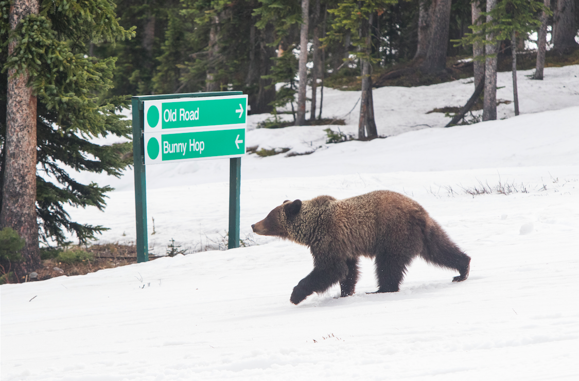 A grizzly bear visits Marmot Basin Ski Resort/Mike Gere