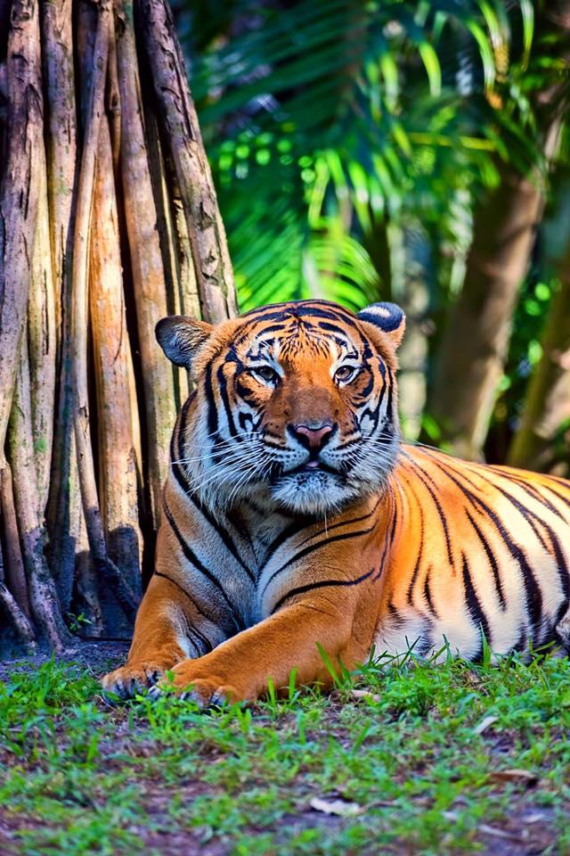 Malayan tiger at Palm Beach Zoo/Bobby Wummer Photography, Facebook