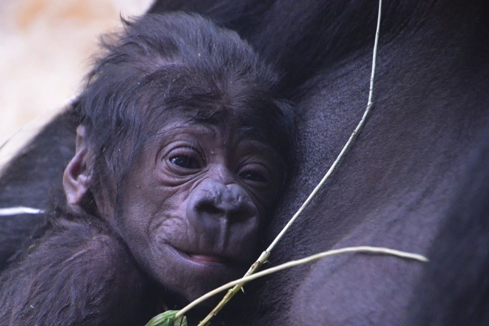The newborn gorilla at the Prague Zoo was arrived unexpectedly Saturday/Facebook