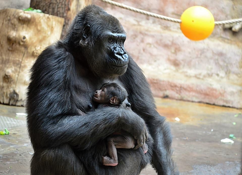Shinda and her first baby/Prague Zoo/Facebook