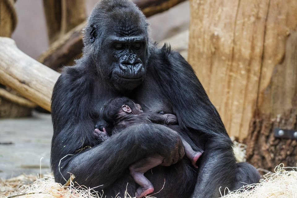 Mother and baby photographed shortly after birth/Prague Zoo/Facebook