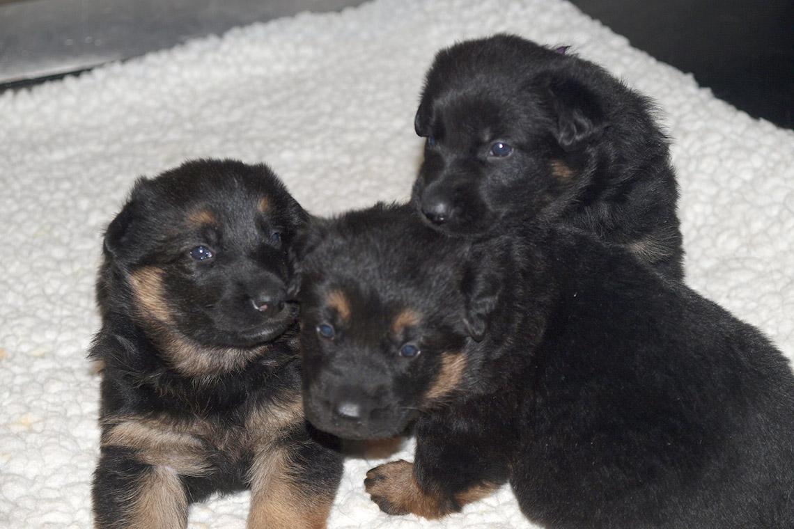 RCMP future service dogs born April 1/RCMP