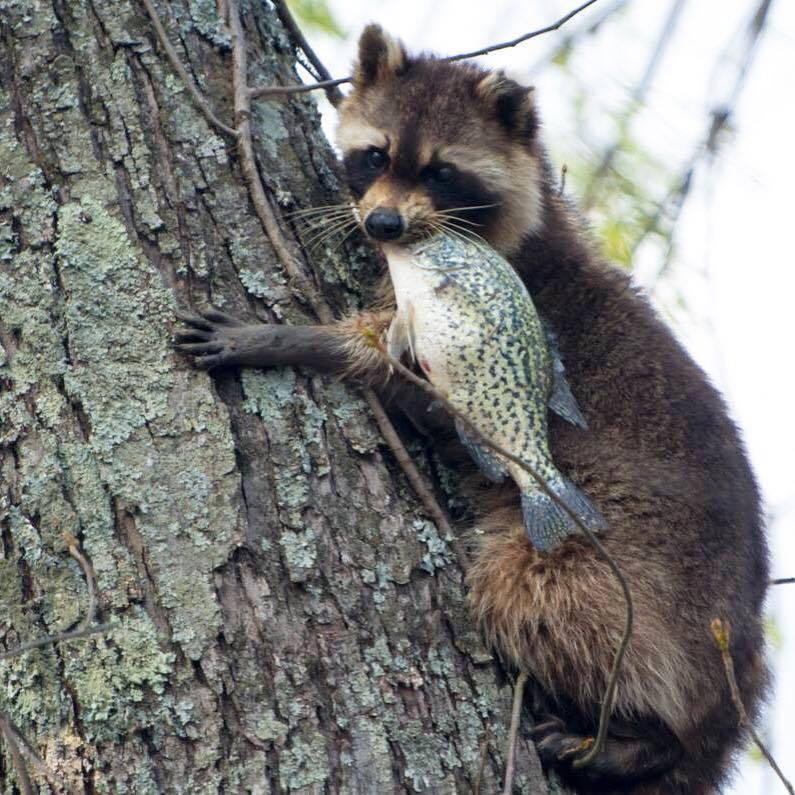 Raccoon thief at Mingo National Wildlife Refuge/Caleb H. Swallows